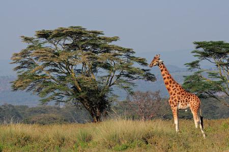 giraffa camelopardalis: Rare Rothschilds giraffe (Giraffa camelopardalis rothschildi), Lake Nakuru National Park, Kenya