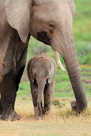 africa wildlife: African elephant - Loxodonta africana - cow with young calf, Amboseli National Park, Kenya