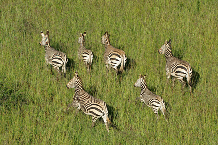 Aerial view of Hartmanns Mountain Zebras - Equus zebra hartmannae - in grassland, South Africa photo