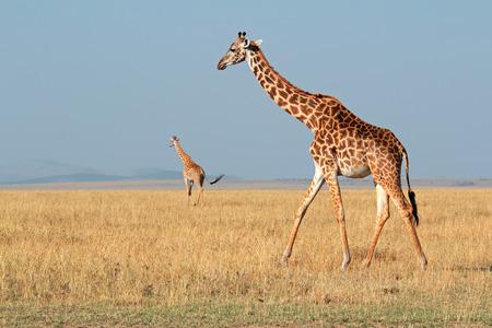 giraffa camelopardalis: Masai giraffes (Giraffa camelopardalis tippelskirchi), Masai Mara National Reserve, Kenya LANG_EVOIMAGES