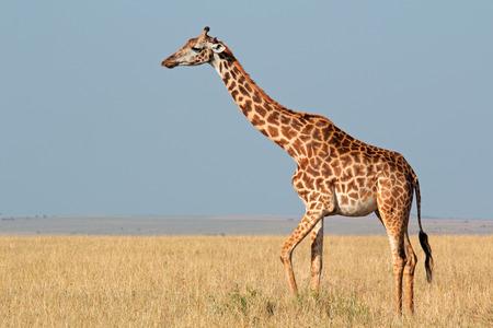 giraffa camelopardalis: Masai giraffe - Giraffa camelopardalis tippelskirchi, Masai Mara National Reserve, Kenya