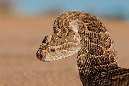 animales del desierto: Retrato de una víbora (Bitis arietans) en posición defensiva, el sur de África