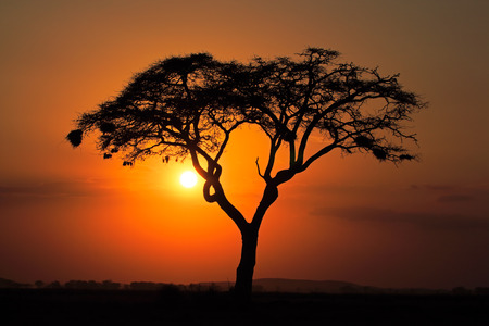 acacia tree: Sunset with silhouetted African Acacia tree, Amboseli National Park, Kenya LANG_EVOIMAGES