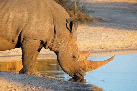 nashorn: Portrait eines Breitmaulnashorn (Ceratotherium simum) Trinkwasser, Südafrika LANG_EVOIMAGES