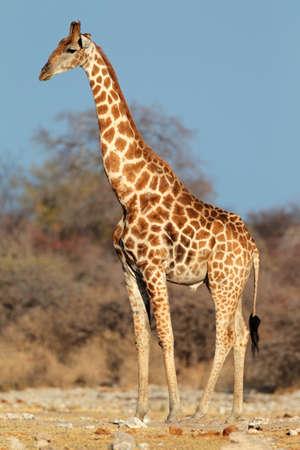 herbivore natural: A large giraffe bull - Giraffa camelopardalis, Etosha National Park, Namibia