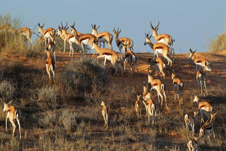 marsupialis: Springbok antelopes - Antidorcas marsupialis - on a sand dune, Kalahari desert, South Africa