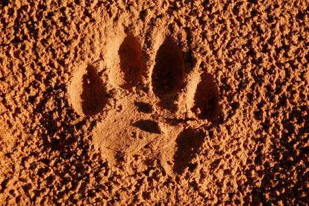 spoor: Imprint of the paw of a mature lion - Panthera leo - in soft sand, South Africa
