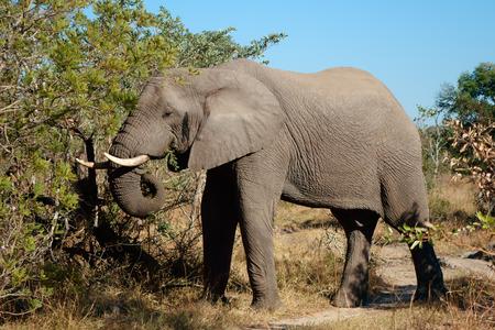 sabie sand: African elephant - Loxodonta africana - feeding on a tree, Sabie-Sand nature reserve, South Africa