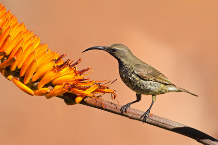 south african birds: A female scarlet-chested sunbird - Chalcomitra senegalensis - on an aloe flower, South Africa
