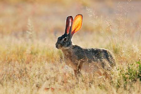 scrub grass: Scrub hare - Lepus saxatilis - among grass, Etosha National Park, Namibia Stock Photo