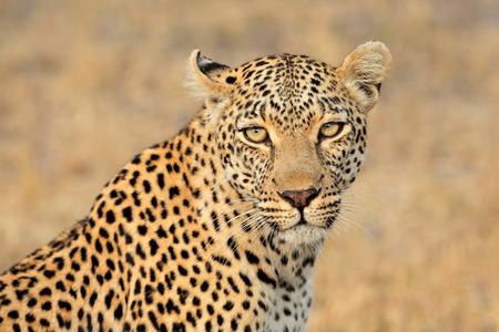 sabie sand: Portrait of a leopard (Panthera pardus), Sabie-Sand nature reserve, South Africa