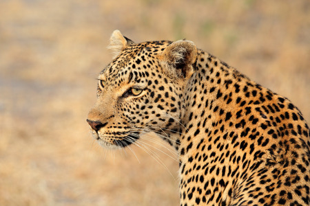 south africa: Portrait of a leopard (Panthera pardus), Sabie-Sand nature reserve, South Africa