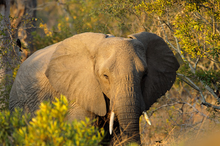 sabie sand: African elephant - Loxodonta africana - with large flapping ears, Sabie-Sand nature reserve, South Africa