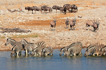 taurinus: Plains zebras, gemsbok and blue wildebeest at a waterhole, Etosha National Park, Namibia