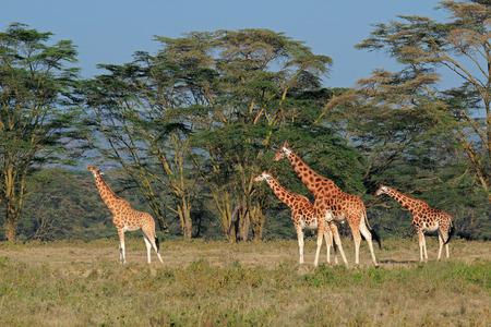 paisagem: Raras Rothschild girafas - Giraffa camelopardalis rothschildi, Parque Nacional do Lago Nakuru, no Quênia