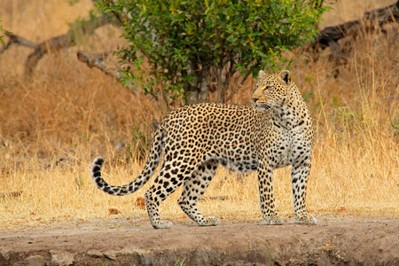 Alert leopard - Panthera pardus, Sabie-Sand nature reserve, South Africa photo