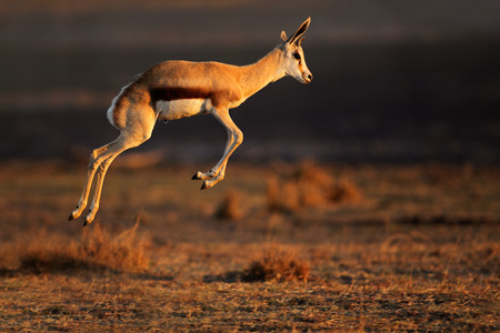 Springbok antelope (Antidorcas marsupialis) jumping, South Africa Stock Photo