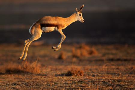 springbok: Springbok antelope (Antidorcas marsupialis) jumping, South Africa LANG_EVOIMAGES