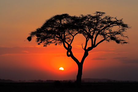 africa sunset: Sunset with silhouetted African Acacia tree, Amboseli National Park, Kenya LANG_EVOIMAGES