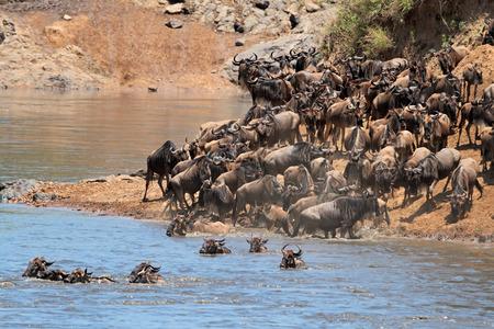 taurinus: Migratory blue wildebeest (Connochaetes taurinus) crossing the Mara river, Masai Mara National Reserve, Kenya