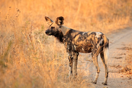 lycaon pictus: African wild dog or painted hunting dog - Lycaon pictus, Sabie-Sand nature reserve, South Africa