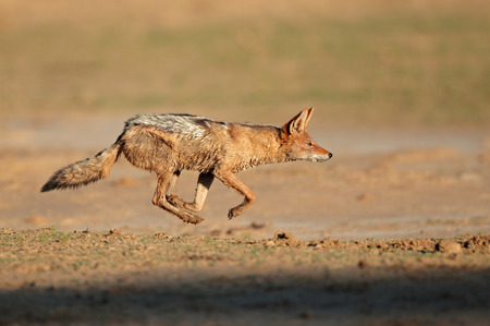 kalahari: A black-backed Jackal - Canis mesomelas - running at full speed, Kalahari desert, South Africa Stock Photo