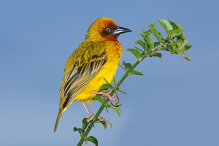 south african birds: Male Cape weaver - Ploceus capensis - perched on a branch against a blue sky, South Africa