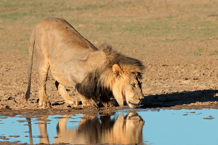 kalahari: Big male African lion (Panthera leo) drinking water, Kalahari, South Africa
