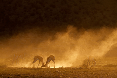 kalahari: Springbok antelope (Antidorcas marsupialis) in dust at sunrise, Kalahari desert, South Africa