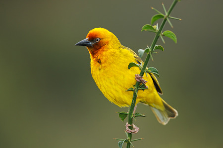 south african birds: Male Cape weaver - Ploceus capensis - perched on a branch, South Africa