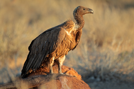 gyps: White-backed vulture - Gyps africanus - scavenging on a carcass, South Africa
