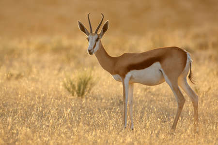 springbuck: Springbok antelope - Antidorcas marsupialis - at sunrise, Kalahari desert, South Africa Stock Photo