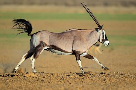 herbivore natural: Gemsbok antelope (Oryx gazella) at a waterhole running, Kalahari desert, South Africa LANG_EVOIMAGES