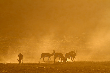marsupialis: Springbok antelope (Antidorcas marsupialis) in dust at sunrise, Kalahari desert, South Africa