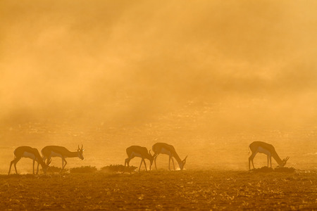 antidorcas: Springbok antelope (Antidorcas marsupialis) in dust at sunrise, Kalahari desert, South Africa