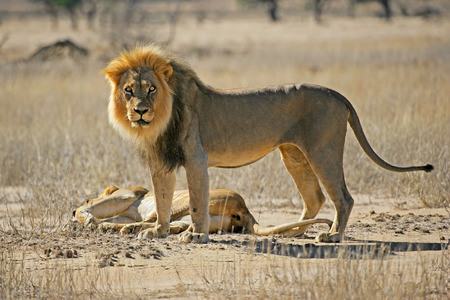 kalahari: A male and female African lion - Panthera leo, Kalahari desert, South Africa