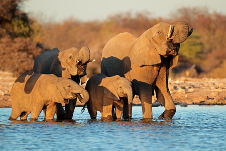 africana: African elephants - Loxodonta africana - drinking water, Etosha National Park, Namibia Stock Photo