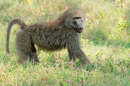 nakuru: An olive baboon -  Papio anubis, Lake Nakuru National Park, Kenya Stock Photo