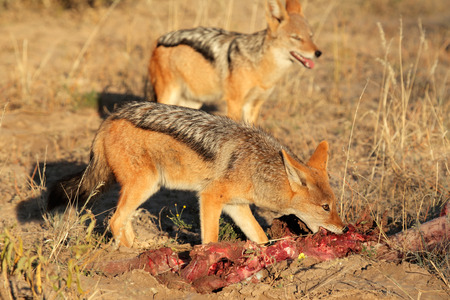 scavenging: Black-backed Jackals - Canis mesomelas - scavenging on a carcass, South Africa Stock Photo