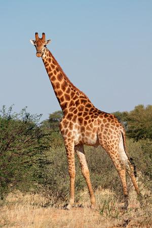 giraffa camelopardalis: A large giraffe bull - Giraffa camelopardalis, South Africa