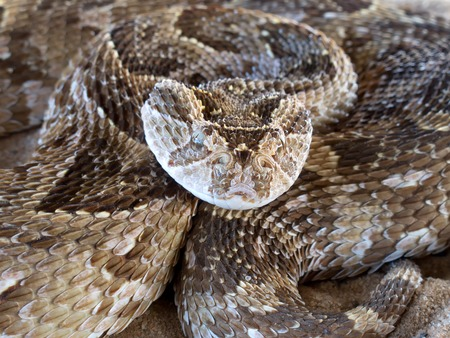 slither: Close-up of a coiled puff adder - Bitis arietans - snake ready to strike, South Africa