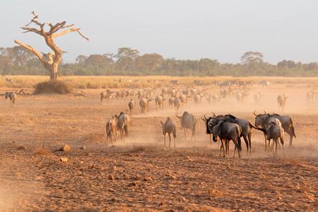 taurinus: Blue wildebeest - Connochaetes taurinus - walking on dusty plains, Amboseli National Park, Kenya