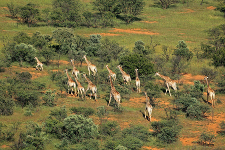 Aerial view of a herd of giraffes - Giraffa camelopardalis - in natural habitat, South Africa