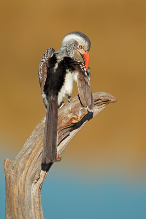 billed: Red-billed hornbill (Tockus erythrorhynchus) perched on a branch, South Africa
