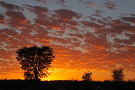 kalahari: Sunset with silhouetted African Acacia trees, Kalahari desert, South Africa Stock Photo