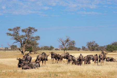 taurinus: Small herd of blue wildebeest - Connochaetes taurinus, Kalahari desert, South Africa
