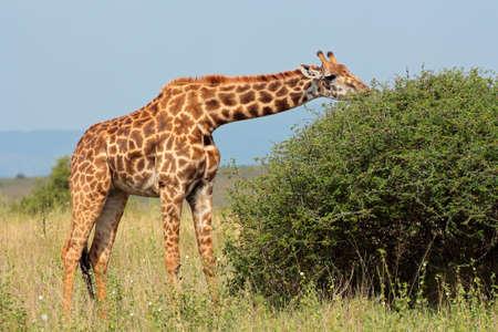herbivore natural: A Masai giraffe - Giraffa camelopardalis tippelskirchi - feeding on a tree, Kenya