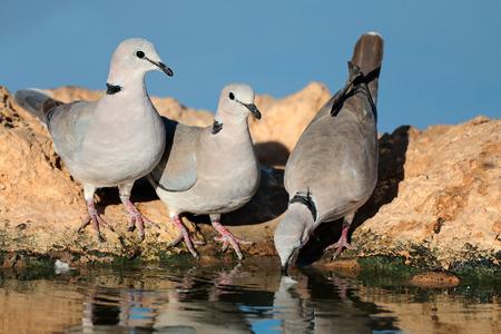 thirsty bird: Cape turtle doves - Streptopelia capicola - drinking water, Kalahari desert, South Africa