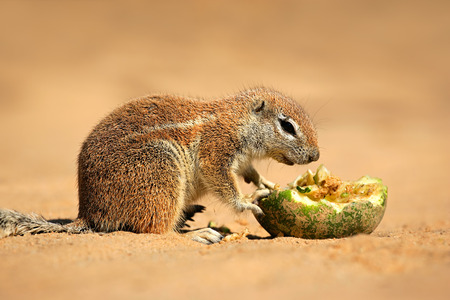 kalahari: Feeding ground squirrel - Xerus inaurus, Kalahari desert, South Africa