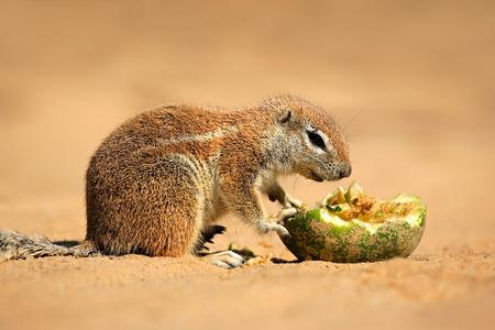 Feeding ground squirrel - Xerus inaurus, Kalahari desert, South Africa photo